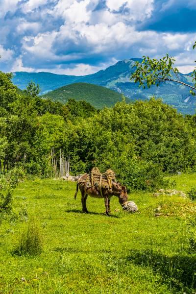 Transport Donkey with traditional Saddle