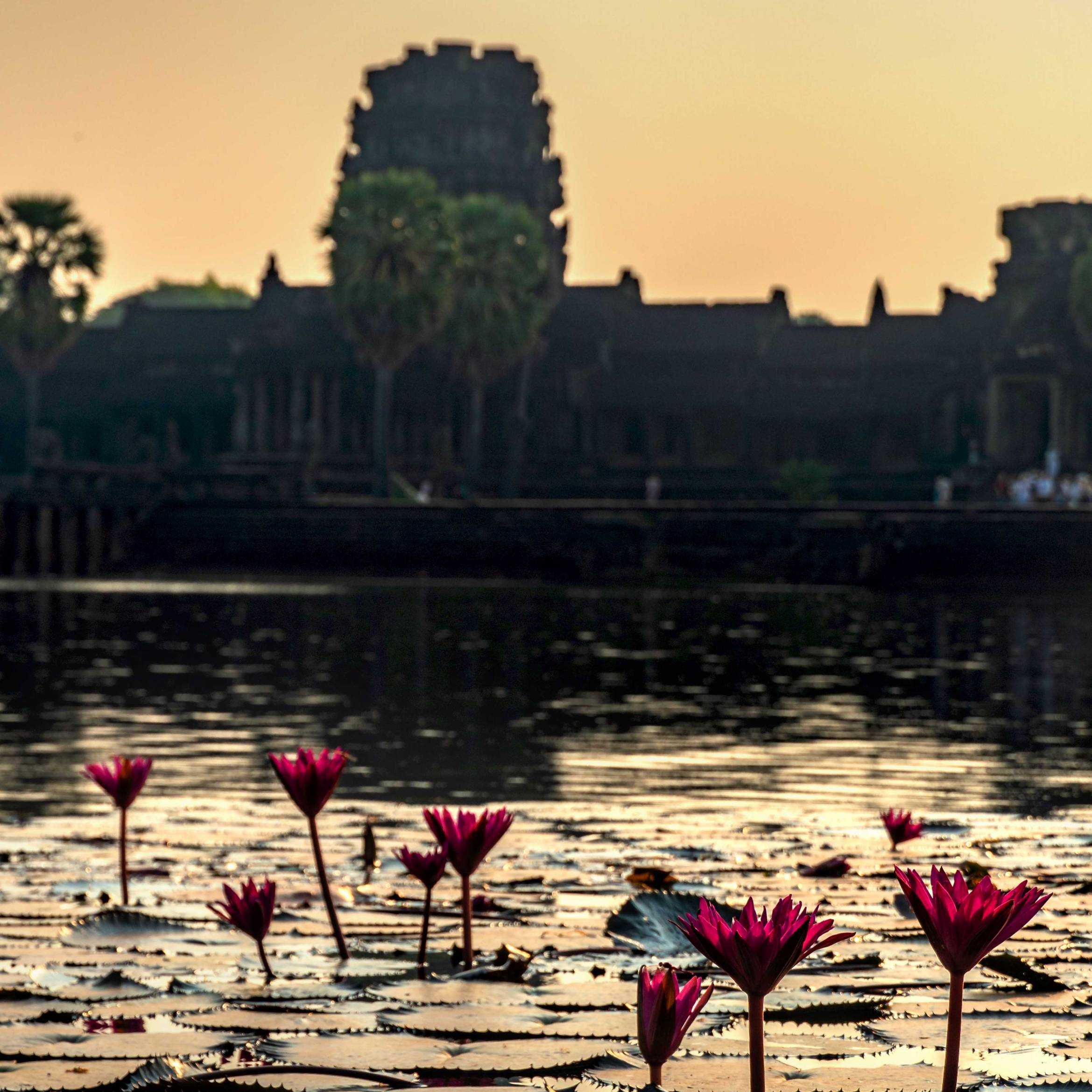 WATERLILLIES AT ANGKOR WAT