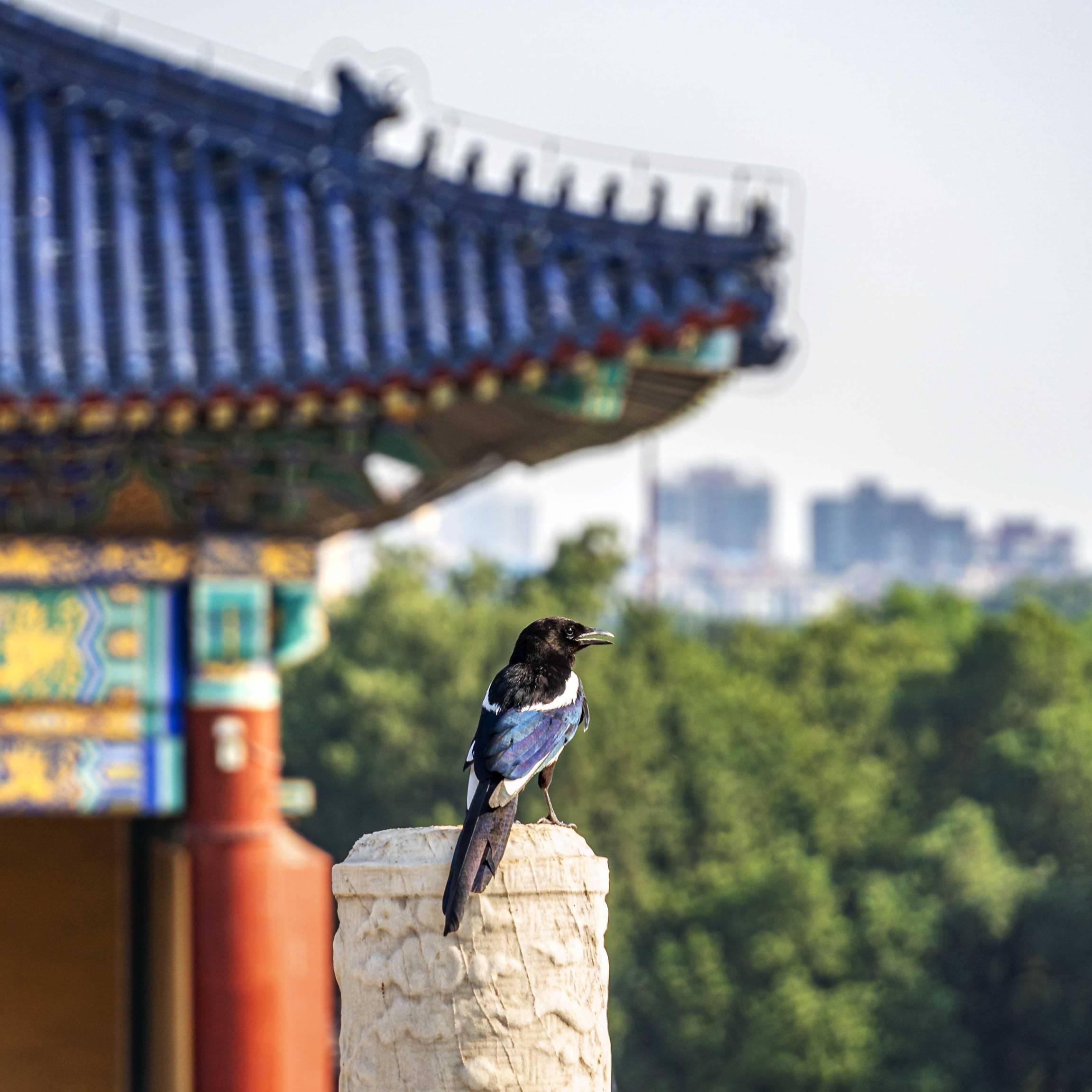 Bird at Qi Nian Dian, Temple of Heaven