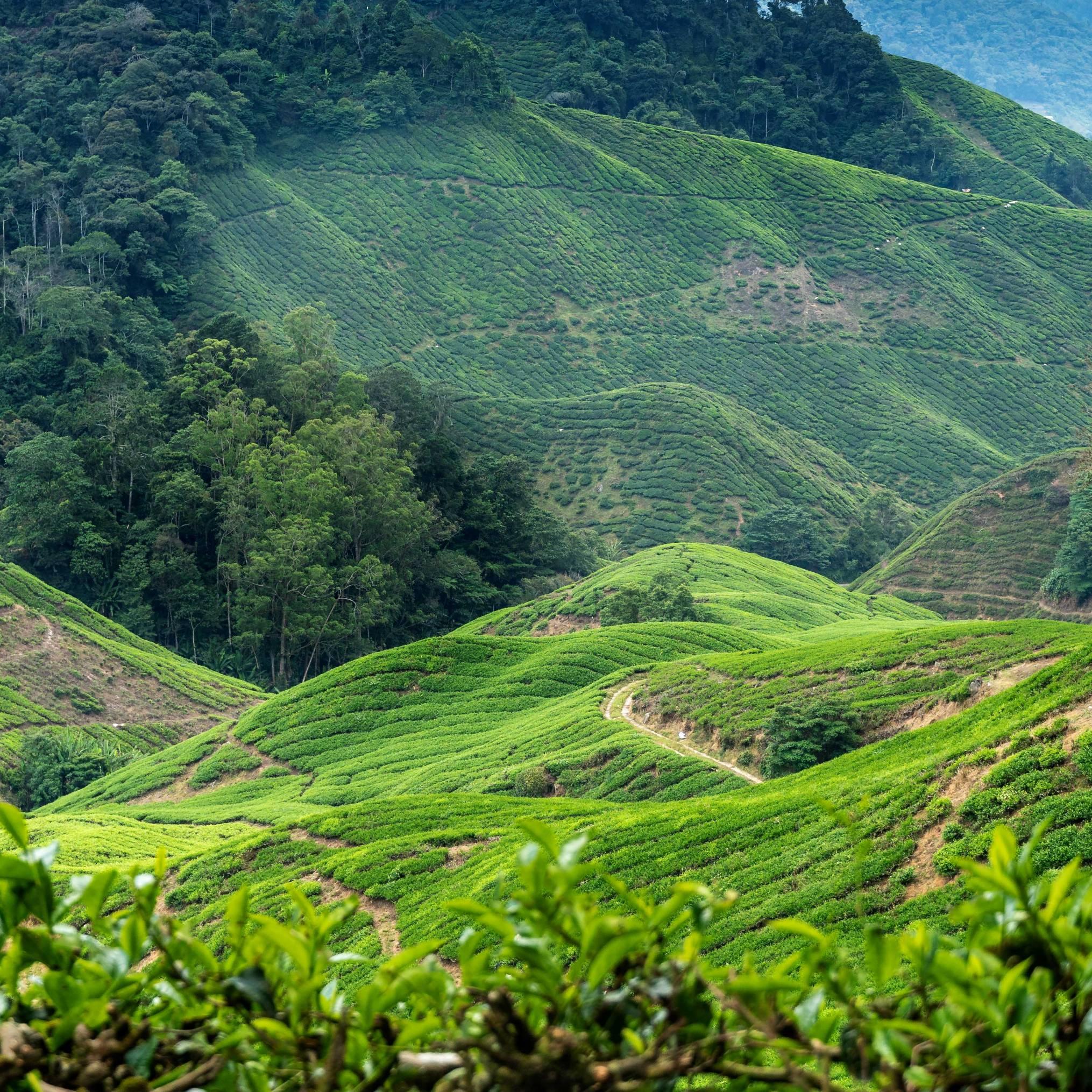 TEA PLANTATION, PAHANG