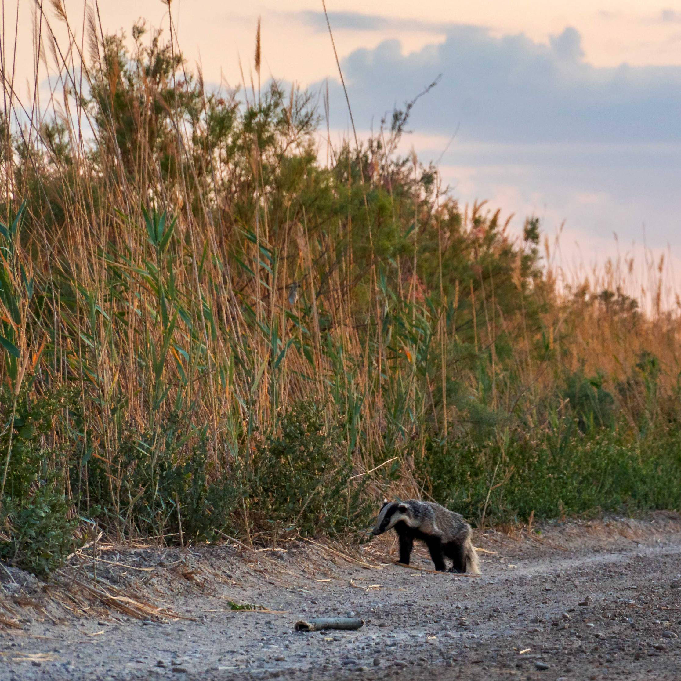 A badger on former Aral Lake grounds